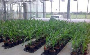 Des cultures de maïs génétiquement modifié dans les serres de Biogemma à Chappes, dans le centre de la France, le 20 mai 2014