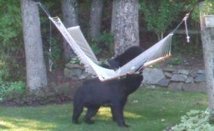 Ces trois ours n'ont pas réussi à se hisser sur le hamac, mais ils se sont bien marrés.