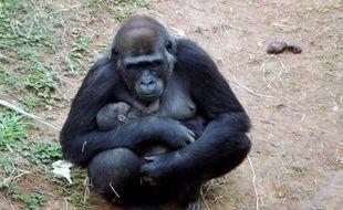 LouLou serre pour l'instant un peu trop fort son bébé pour que le zoo de Belo Horizonte puisse identifier le sexe du nouveau-né.
