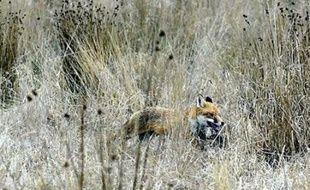 Un renard a volé un sac à main avant de disparaître dans les bois, obligeant son propriétaire à alerter les policiers, a rapporté mardi la police du canton de Bâle (nord de la Suisse).