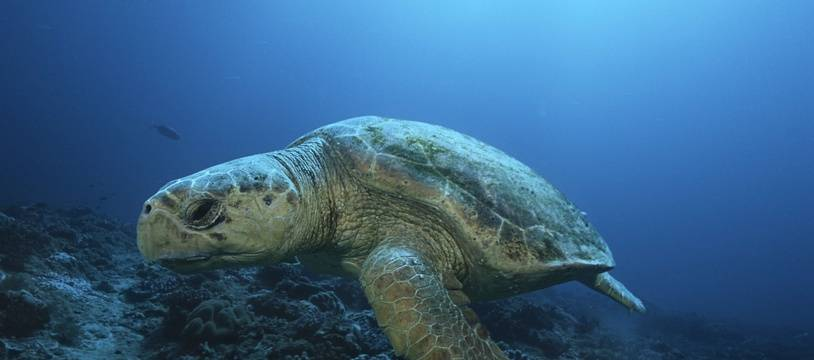 Une tortue caouanne (illustration)