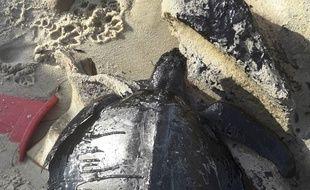 Des tortues, comme ici sur la plage de Sabiaguaba, sont mortes à cause de cette pollution.