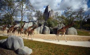 Des girafes le 8 avril 2014 au zoo de Vincennes