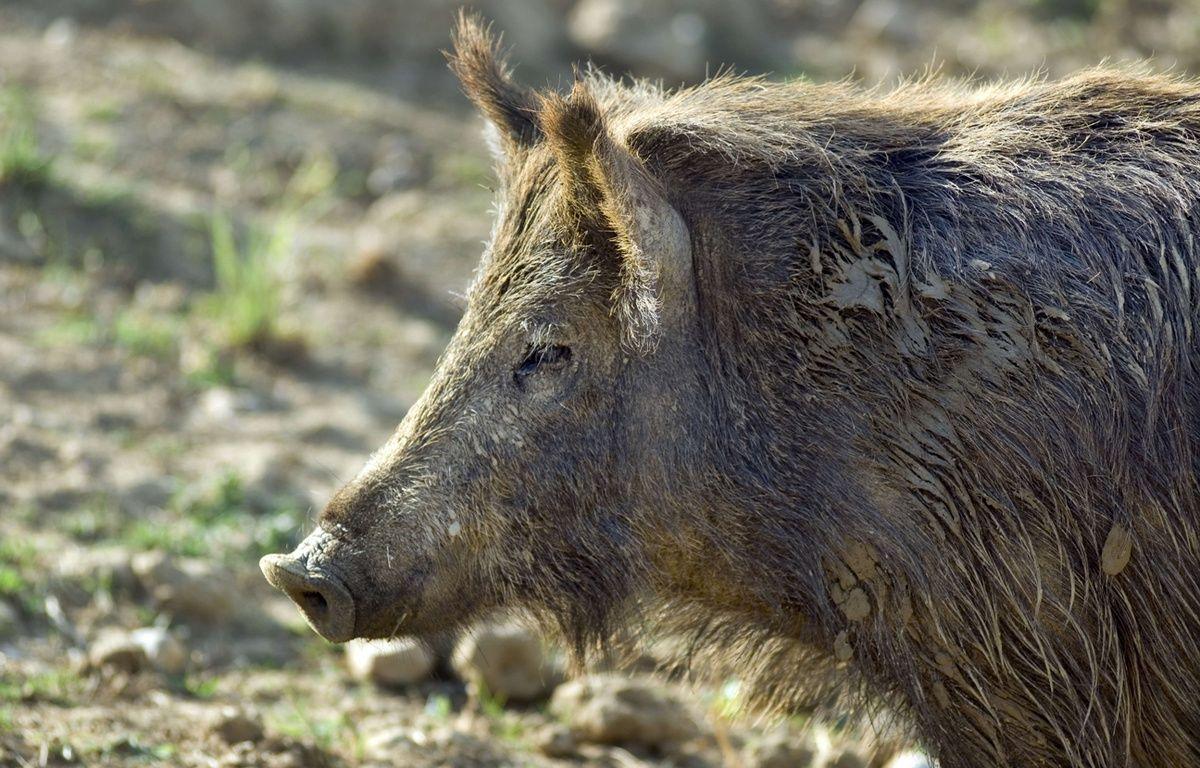 Dans le massif des Vosges en Alsace, un sanglier s'en est pris à un chasseur. –  Brian Harris / Rex Feat/REX/SIPA