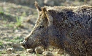 Dans le massif des Vosges en Alsace, un sanglier s'en est pris à un chasseur.