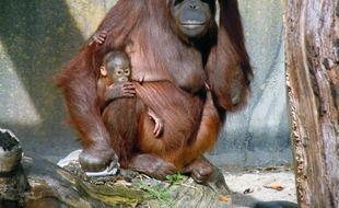 Un orang-outan et son petit.