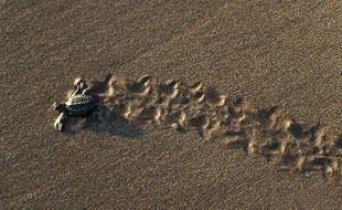 Un bébé tortue libéré par des protecteurs de l'environnement tente de rejoindre la mer sur la plage de San Diego, San Salvador, le 20 novembre 2010.