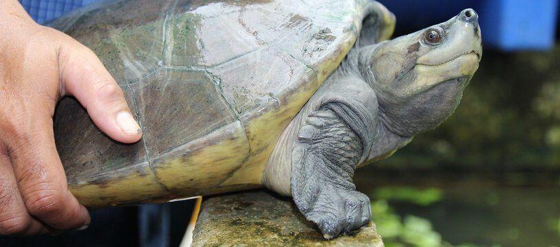 Une tortue royale (photo d'illustration)