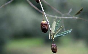 Des olives infestées par la mouche Bactrocera oleae aux Baux-de-Provence, dans les Bouches-du-Rhône, le 27 novembre 2014
