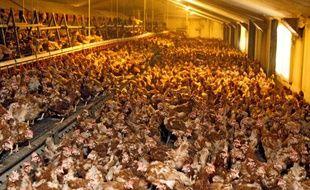 Elevage intensif de poules, en Belgique.