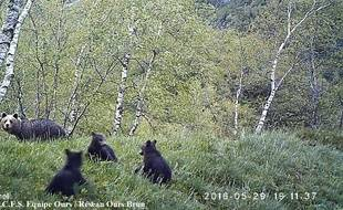 Une ourse et ses trois oursons repérée le 29 mai sur la commune de Bonac-Irazein.