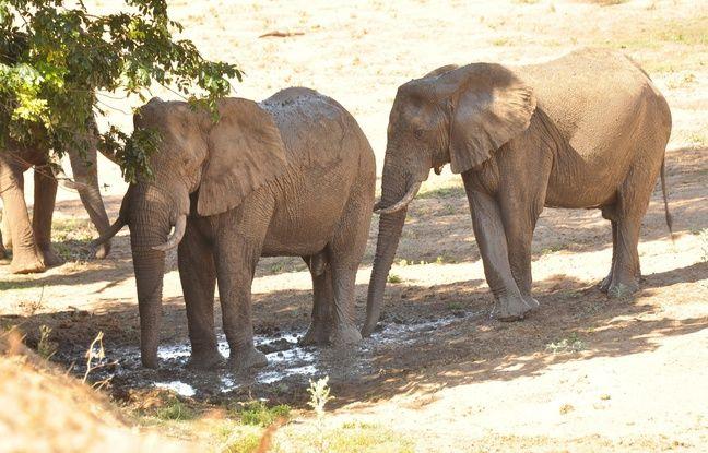 Zimbabwe: Victimes de sécheresse, au moins 55 éléphants sont morts en un mois