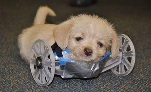 Grâce à un fauteuil à roulettes conçu par imprimante 3D, le chiot né sans pattes avant apprend à se déplacer le plus normalement possible.