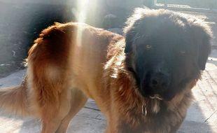 Le chien Rocky, traîné par une voiture le 29 décembre.