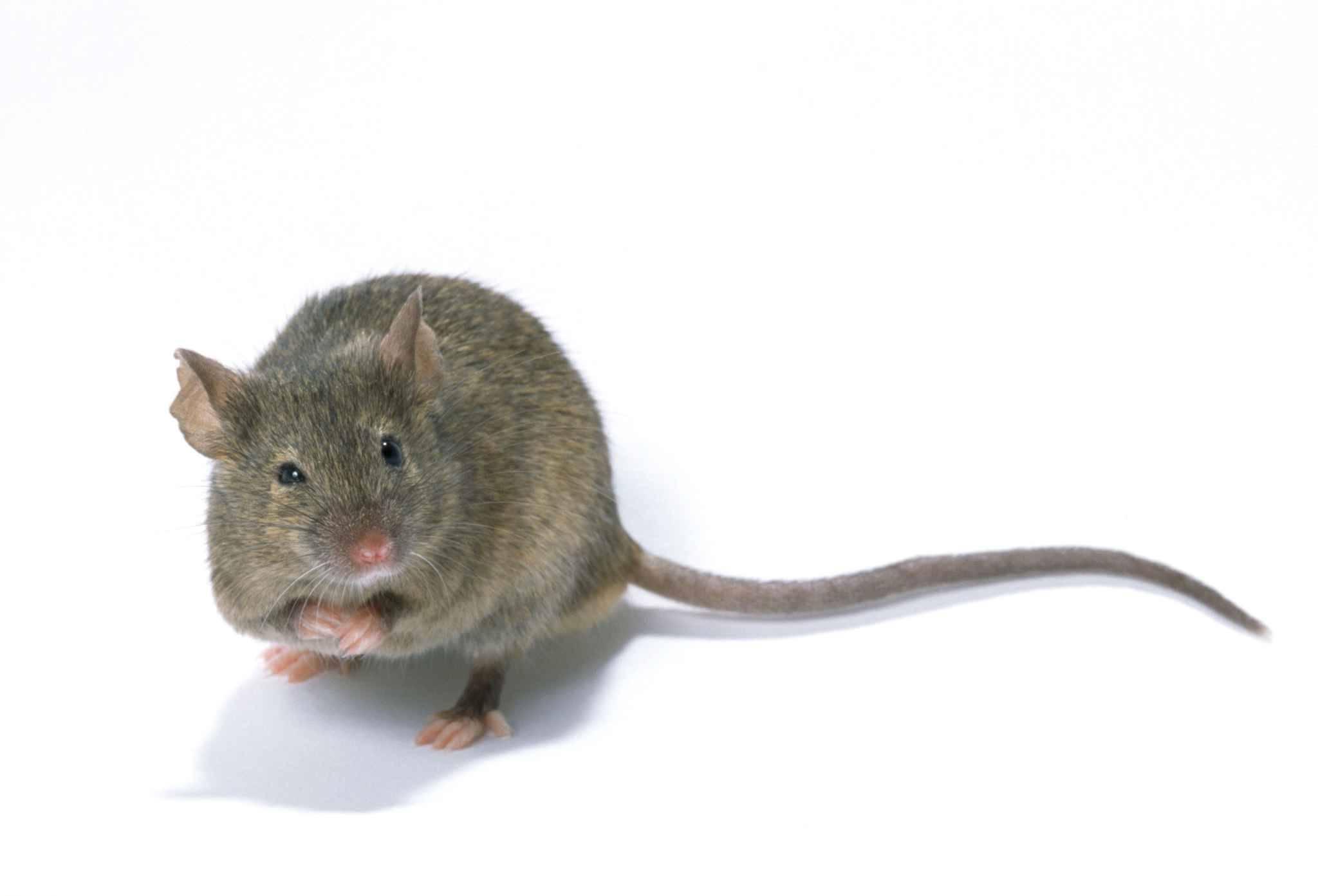 br sil une souris dress e transportait de la drogue entre les cellules des d tenus. Black Bedroom Furniture Sets. Home Design Ideas