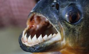Illustration: Un piranha.
