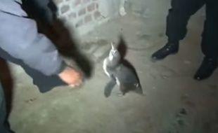 Un manchot capturé par la police au Pérou.