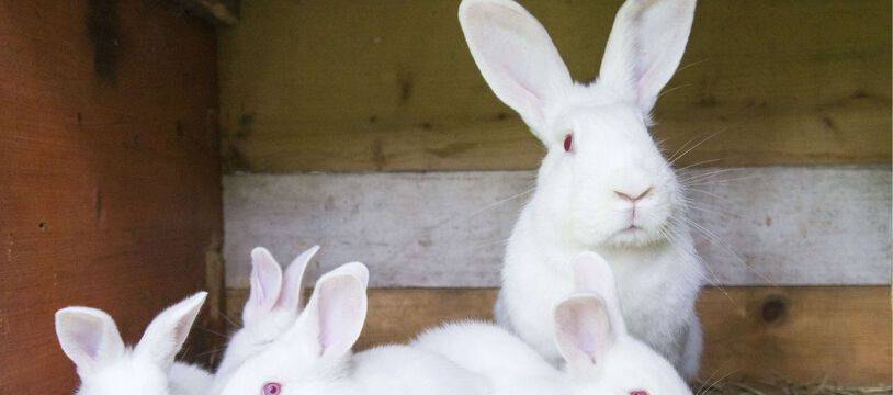 Des lapins blancs. Illustration.