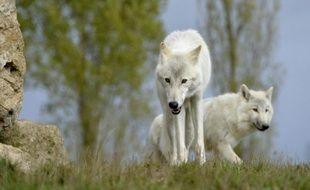 Quatre loups ont été abattus dans les Alpes françaises ce week-end