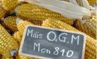 Deux variétés d'OGM sont autorisées en Europe, contre 150 dans le monde.