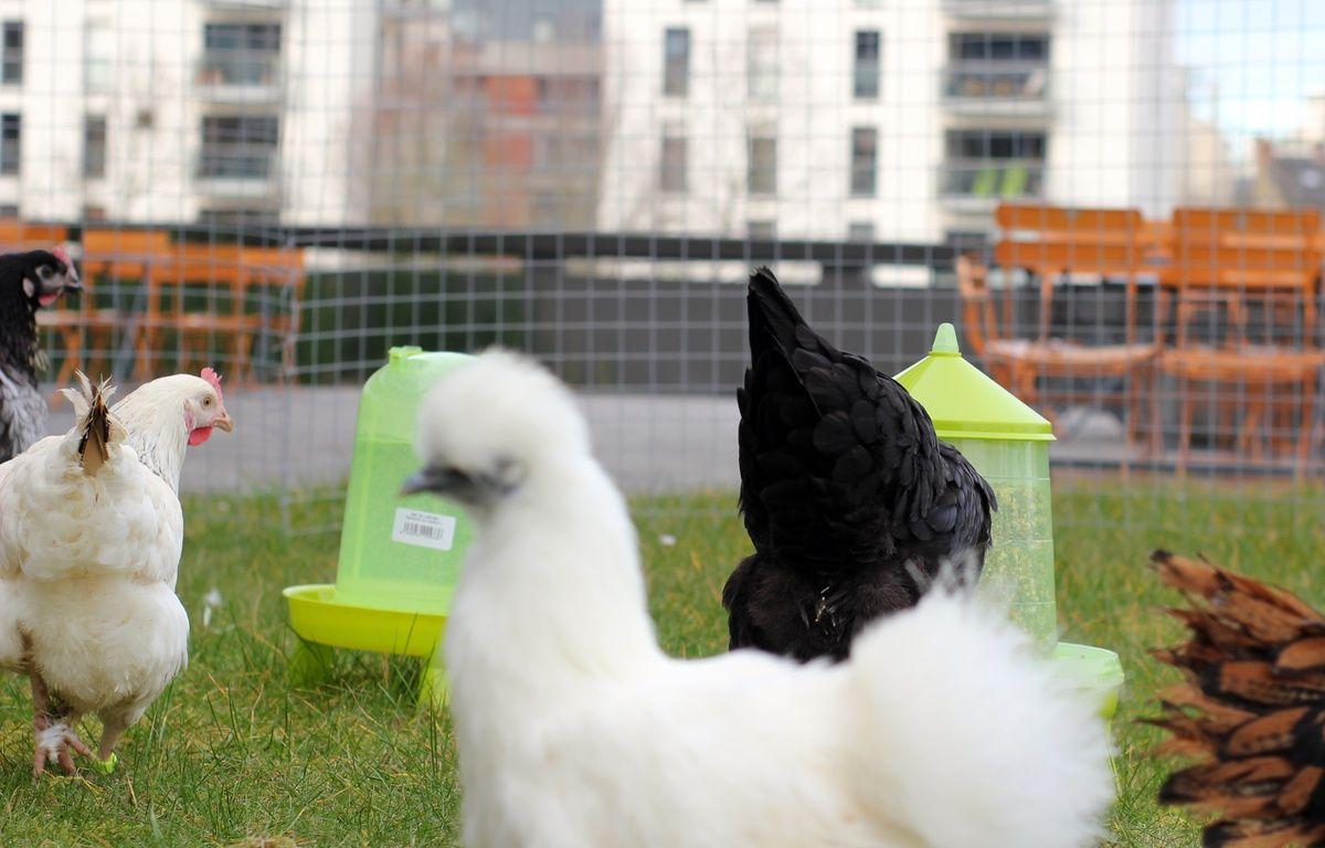 Les poules de Magalli sont même disponibles sous différentes couleurs. – C. Allain / APEI / 20 Minutes