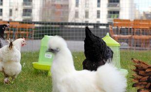 Les poules de Magalli sont même disponibles sous différentes couleurs.