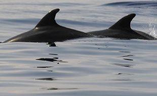 Au moins 85 dauphins se sont échoués depuis le 12 janvier au Cap Cod (nord-est des Etats-Unis), un nombre beaucoup plus élevé qu'à l'habitude qui laisse les experts perplexes, a-t-on appris mardi auprès du Fonds international pour la protection des animaux (IFAW).