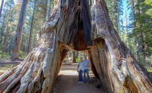 Le Pioneer Cabin Tree en mai 2015. Son tronc avait été creusé dans les années 1880.
