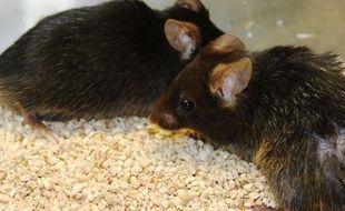 La souris sans télomérase, à droite, présente une dégénérescence plus avancée que la souris saine, à gauche