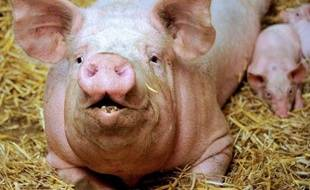 Le réalisateur américain Oliver Stone a dénoncé dans une lettre au ministère britannique de la Défense, rendue publique vendredi, l'utilisation de cochons blessés à l'arme lourde pour permettre aux médecins militaires de s'exercer à la chirurgie de guerre.