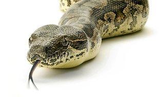 Un boa constrictor.