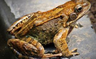 Bourgogne-Franche-Comté: Un retraité de 70 ans vivait avec 300 grenouilles rousses chez lui