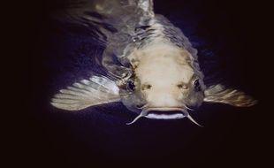 Photo d'iillustration d'un poisson-chat