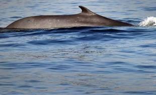 Un rorqual commun, un des plus grands animaux de la planète, qui peut atteindre 27 mètres pour 122.470 kg, ici, un spécimen dans l'océan Pacifique au large de Long Beach en Californie, le 19 janvier 2012