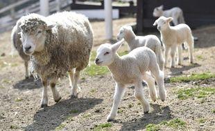 Une brebis et des agneaux (illustration).