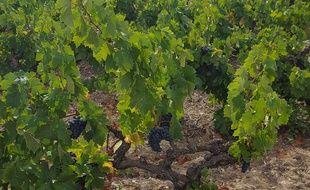 Une vigne en Languedoc. Illustration