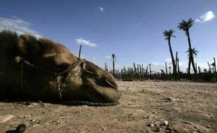 Un chameau se repose près de Marrakech, Maroc, le 17 juin 2007.