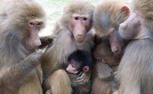 Des babouins et leurs petit (photo d'illustration)
