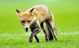 Un renard sur un terrain de rugby à Londres