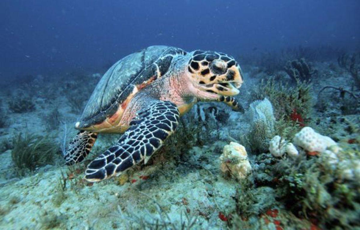 Une tortue à écailles. – SIPA