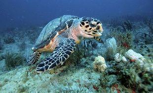Une tortue à écailles.
