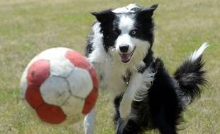 Un chien de la race Border collie.
