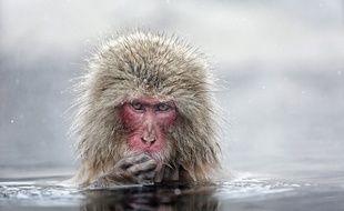 Un singe se baigne dans une source chaude au Japon.