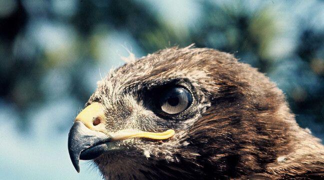 Des oiseaux protégés braconnés en plein confinement dans l'Hérault