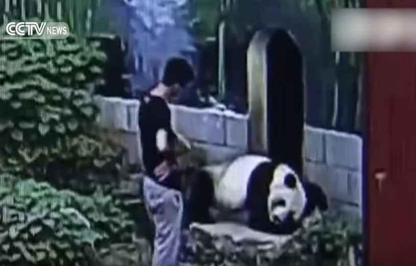Un imprudent se fait maitriser par un panda — Chine