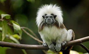 Un singe tamarin.