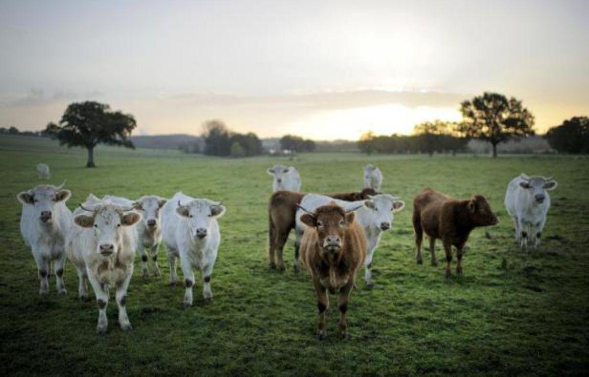 Au fin fond des campagnes françaises, des éleveurs s'emploient à sauver des races en voie de disparition: poules, vaches ou cochons que l'agriculture intensive avait abandonnés. Et c'est ainsi que des boeufs de race millénaire réapparaissent dans les prés du Sud-Ouest. – Jean-Sebastien Evrard AFP