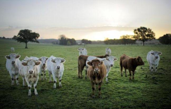 Au fin fond des campagnes françaises, des éleveurs s'emploient à sauver des races en voie de disparition: poules, vaches ou cochons que l'agriculture intensive avait abandonnés. Et c'est ainsi que des boeufs de race millénaire réapparaissent dans les prés du Sud-Ouest.