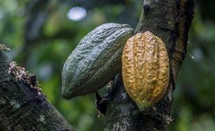 La Côte d'Ivoire rafle 40 % du marché mondial de cacao, qui est responsable de la déforestation du pays.