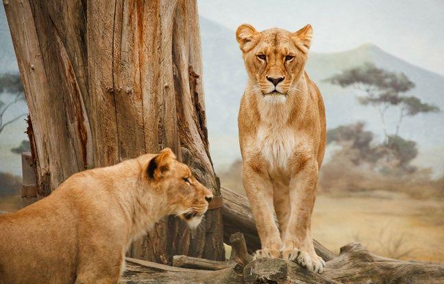 Illustration de lion.